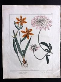 Edwards & McDonald 1807 Hand Col Botanical. Chinese Ixia, Gibraltar Candy Tuft